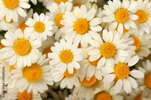 Obraz Close up background of chamomile flowers - fototapety do salonu