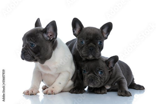 Fényképezés Three dutiful French bulldog puppies curiously looking around