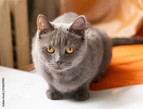 Photo gray cat hunts on orange fabric