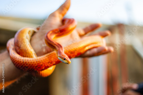 Photo Red snake wrapped in hand