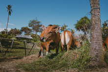 Balinese Cows Graze Among Palm Trees And Eat Grass In Bali Island