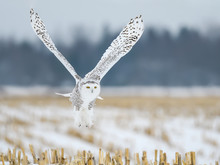 Female Snowy Owl Flying Low Ov...