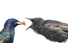 Starling. Colourful Adult Star...