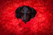 Valentines Wedding Dog In Love
