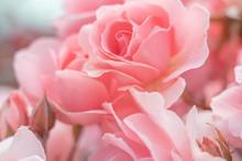 Fresh Rose Background; Close Up;