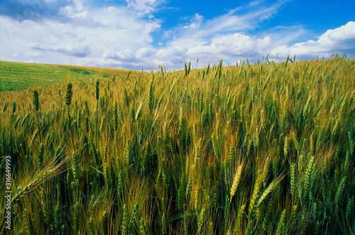Valokuvatapetti This is a golden field of wheat.