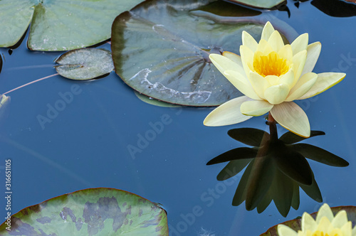 Yellow Waterlily in a Pond