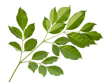 Ficus Benjamina Leaf Tropical Isolated On White Background.