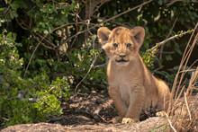 Close-up Of An Adorable Little Lion Cub. Image Taken In The Maasai Mara National Reserve, Kenya.