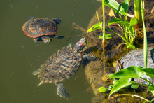 Two Red-eared Turtles Swim Nea...
