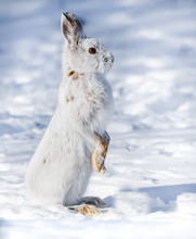 White Snowshoe Hare Standing O...