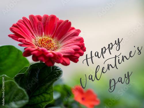 A Gerbera Daisy to Celebrate Valentine's Day Wallpaper Mural