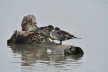 Mallard Duck Resting