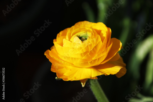 Fototapeta Yellow buttercup, graceful and luxurious, comparable to peony