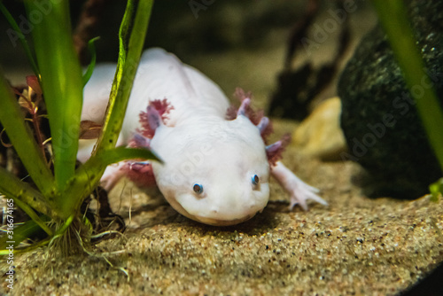 A closeup of a Axolotl walking on sand.  Vancouver Aquarium  BC Canada