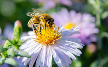 A Bee Sits On A Flower And Collects Pollen