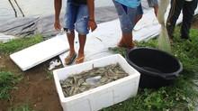 Shrimp Ponds Are Ponds Built T...