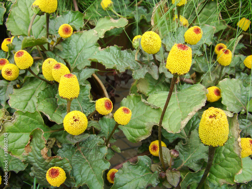 Photo Fresh flowering para cress plant, Spilanthes oleracea