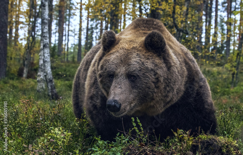 Valokuvatapetti Big Adult Male of Brown bear in the autumn forest