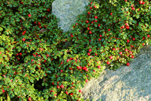 Cotoneaster Cashmiriensis, The...