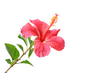Flowering Hibiscus. Isolated O...