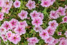 Petunia Flower Blossom Close Up