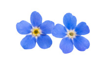 Forget-me-not Flowers Isolated