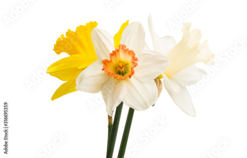 daffodil flower isolated Poster Mural XXL
