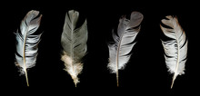 Gray Feather Of A Bird On A Black Background