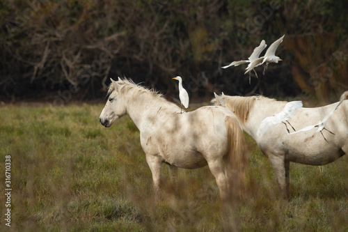 A Western Cattle Egret standing on a white Camargue horse Canvas Print