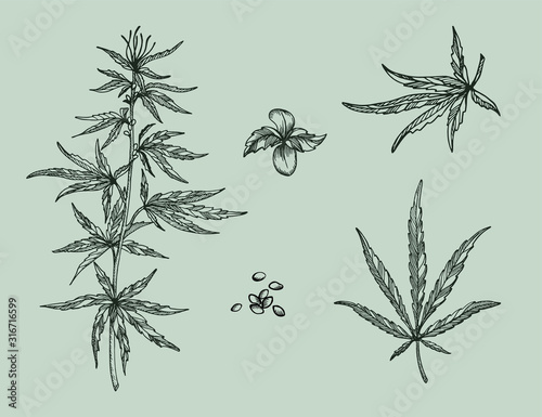 Fototapeta Set of  leaves, branch and seeds of Hemp plant. Organic product. Ink sketch of cannabis. Hand drawn graphic design. Vector illustration. obraz