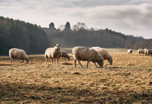 A Flock Of Sheep Grazing On Fa...
