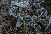 Frost On Bramble Bush