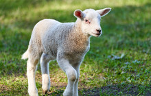 A Young Spring Newborn Lamb In...