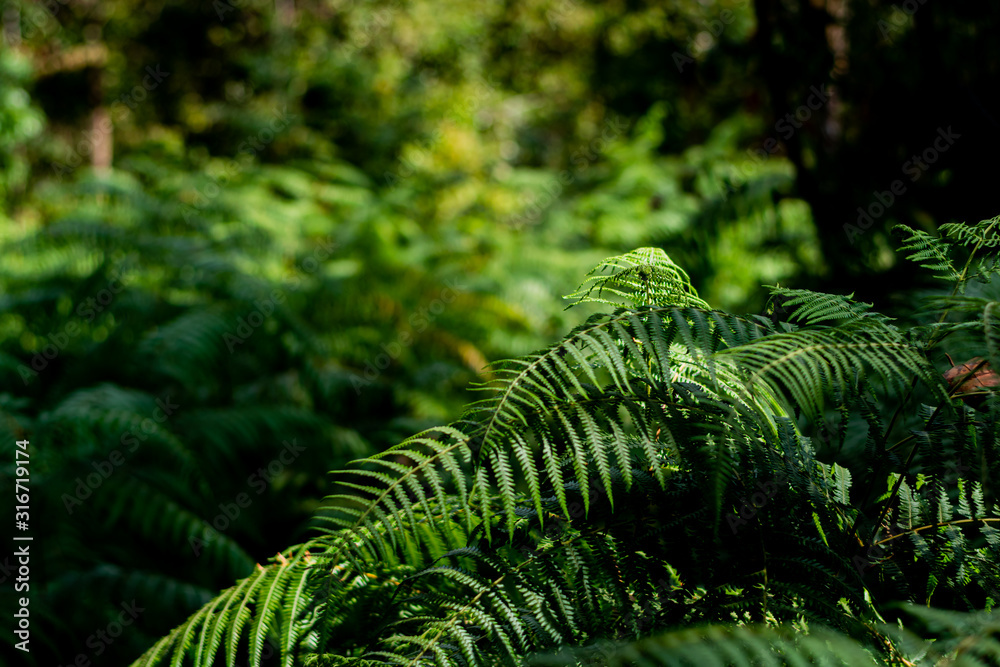 Fototapeta Beautiful ferns green leaves the natural fern in the forest and natural background in sunlight.