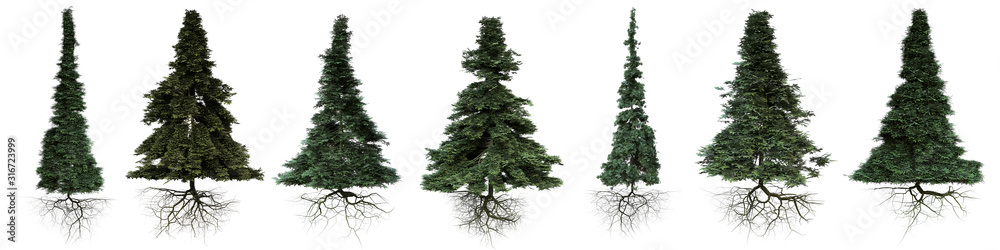 Fototapeta conifer trees with roots isolated on white background