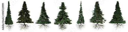conifer trees with roots isolated on white background