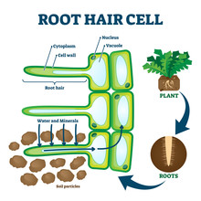 Root Hair Cell Collecting Mine...
