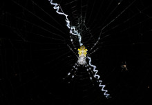 Tropical Yellow-bellied Spider...