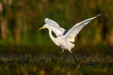 Great White Egret (Egretta Alba)