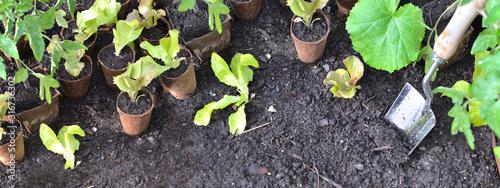 metal shovel planting in the soil of vegetable garden among leaf of seedlings