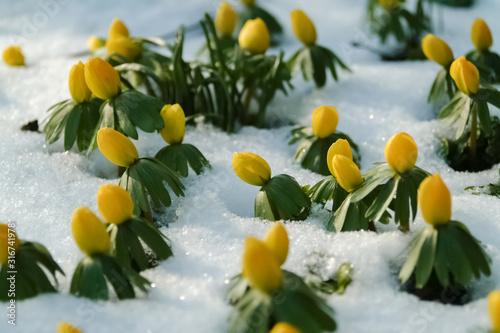 Winterlinge Eranthis hyemalis Blume Schnee Kälte Knospen Sprießen Frühblüher Win Canvas Print