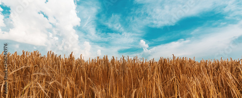 Canvas Print Ripe barley field