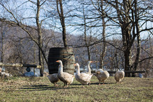 Group Of Geese In A Farm Yard ...
