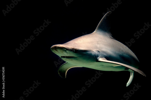 Obraz na plátně bull shark jaws ready to attack at night isolated on black