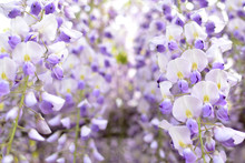 Wisteria, A Famous Flower Of S...
