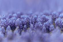 Blue Bell-shaped Flowers, Musc...