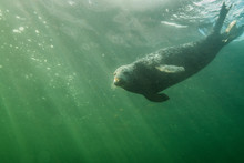 Gray Seal Swimming Underwater ...