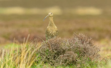 Curlew, Adult Curlew In Natural Moorland Habitat During The Breeding Season.  Curlews Are Ground Nesting Birds.  Yorkshire, England.   Space For Copy.