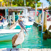 Big Brown Pelicans In Port Of Islamorada, Florida Keys. Waiting For Fish At Robbie's Marina.